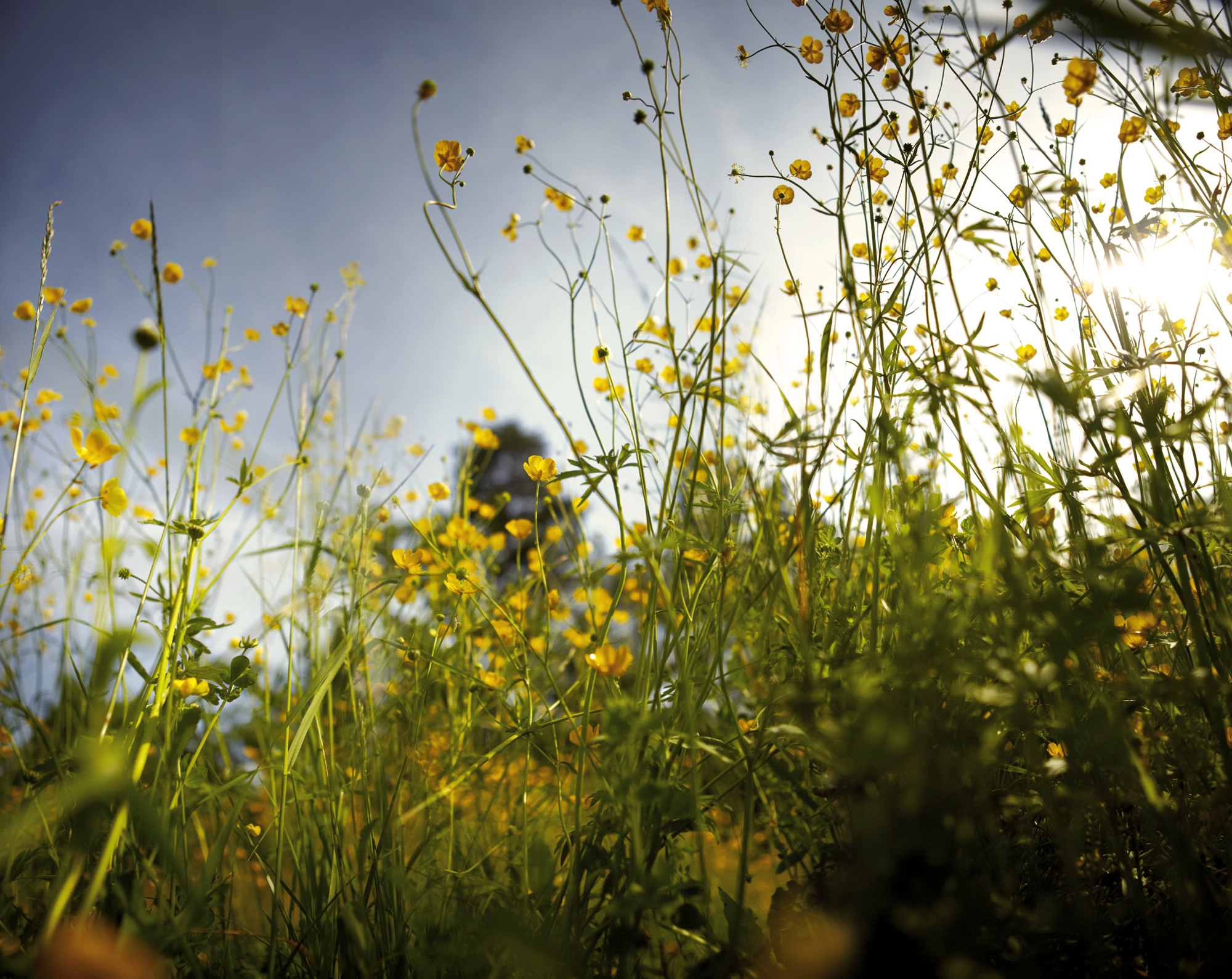 iarba cu flori galbene 2