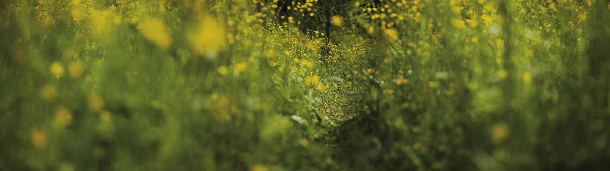 poteca cu flori galbene